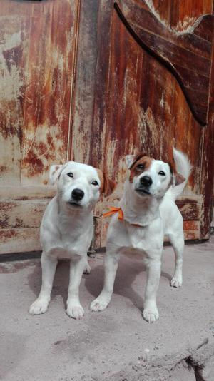 Vendo Cachorros Jack Russell Terrier