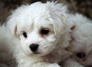 vendo lindos cachorros malteses