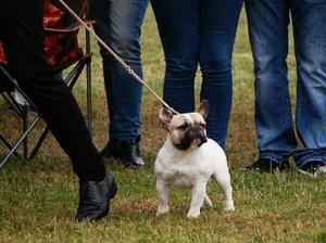 Bulldog Frances Brinda Servicio de Monta