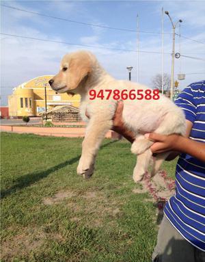 Cachorra Golden Retriever A1