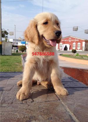 Cachorraso Golden Retriever A1
