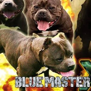 Cachorros fusion x American Bully