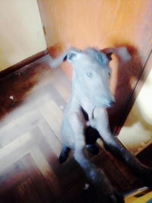 Perro peruano sin pelo macho