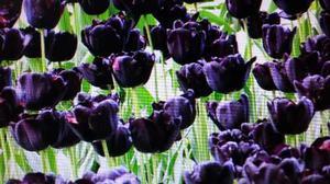 Tulipan Negro Cien Semillas Stock Entrega Gratuita Todo Peru