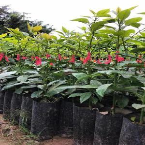 Frutales injertos vivero uniagro trujillo posot class for Vendo plantas ornamentales
