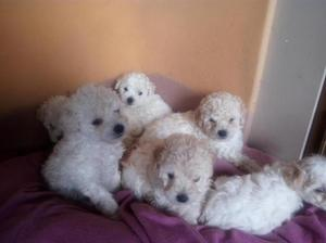 Vendo hermosos cachorritos raza POODLE MINI TOY