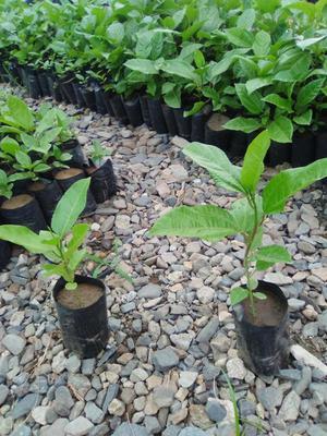 Lenceria colombiana posot class for Viveros plantas ornamentales colombia