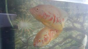 Peces discos importados 200 posot class for Vendo peces