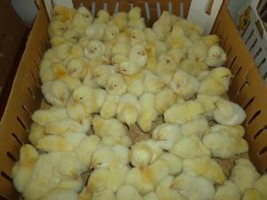 venta de pollos cobb 500, parrillero, doble pechuga.
