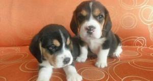 Bellos Cachorros Beagle Tricolores