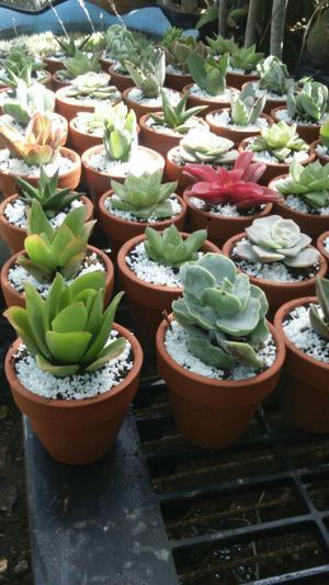 Cactus injertos y suculentas posot class for Suculentas por mayor