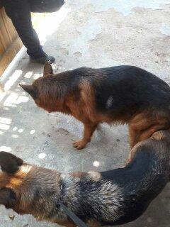 Pastor alemán cachorros