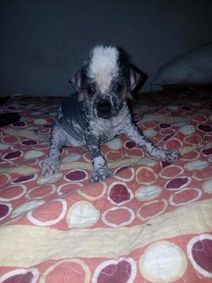 Perro Sin Pelo Peruano son de tamaño pequeños hembras