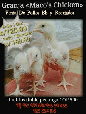 Venta de Pollos Bb Y Recriados