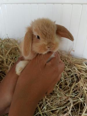 Conejitos Conejos Enanos de Mascotas