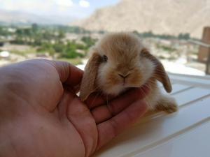 Conejos Color Caramelo, Conejitos Enanos