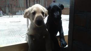 perro labrador en Huanuco