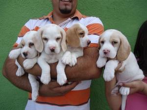 seleccion de hermosos cachorros beagles