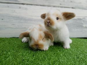 Conejitos Enanos de Mascota Conejos Bebe