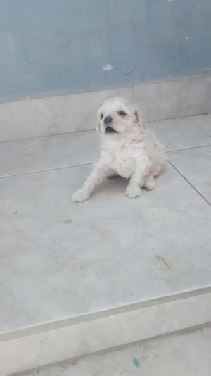 VENDO HERMOSO CACHORRITOS POODLE TOY