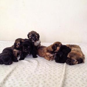 Cachorros Maltes con Pekines