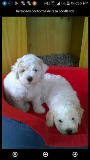 Hermosos Cachorros de Raza Poodle Toy