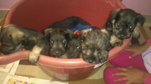 Se Vende Lindos Cachorros Snauzer
