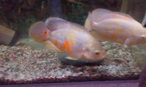 Peces ciclido oscar albino lutino de cm a posot class for Vendo peces