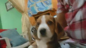Beagle Macho Padre Brasileño
