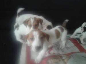 Jack russell, lindos cachorros, machos y hembras, vacunados.