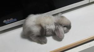 Bellos Conejos Enanos Minilop Conejitos