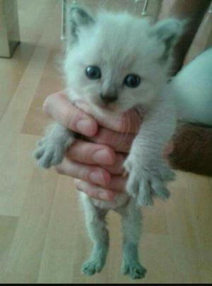 Gatos y gatas siames bebes lima callao | Posot Class
