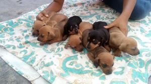 Salchicha, lindos cachorros, machos y hembras, vacunados.