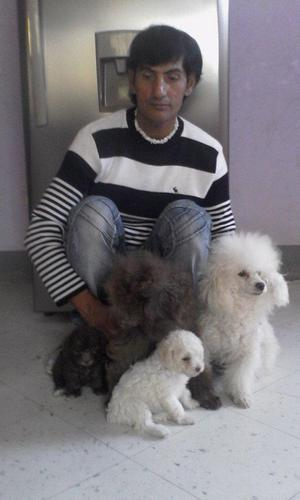 VENDO HERMOSOS CACHORRITOS POODLE TOY