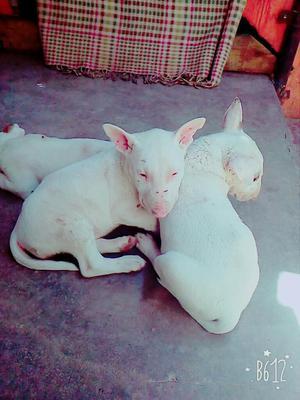 Vendo Lindos Cachorros Bull Terrier