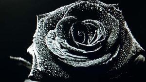 Rosa Negra Cincuenta Semillas Entrega Gratuita A Todo Peru