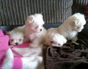 Cachorros Maltes Toys Bolitas de Nieve
