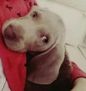 Braco Weimaraner Cachorros Lima san Mig