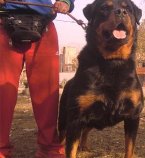 rottweiler venta de cachorros rottweiler alemán moloso