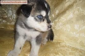 Cachorros Siberiano