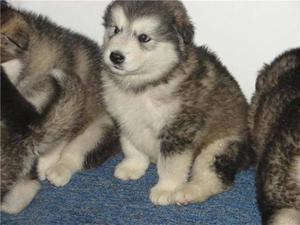 lindos cachorros a1