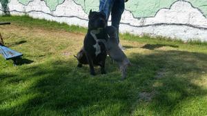Cachorro Pitbull Blue Nose
