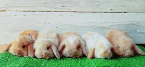 Conejitos Enanos, Conejos Mini Lop