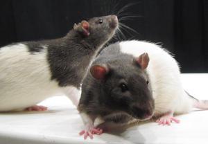 Se regalan 2 ratas de laboratorio