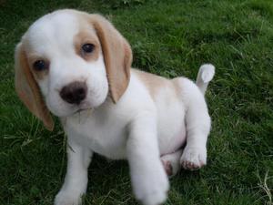 cachorros beagles bicolor snopis