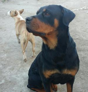 Vendo cachorrito rod wayler de tres meses | Posot Class