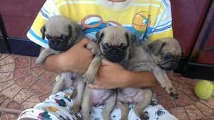 Bellos Cachorros Pug Carlinos Machos