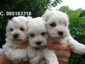 lindos hermosos vacunados bichon frise lindos cachorros se