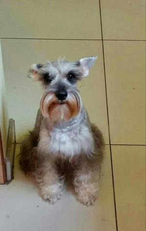 Cachorro Schnauzer Hermozo