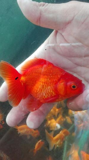 Peces guppy orejon acuario goldfish posot class for Criadero de peces goldfish